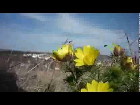 Tavaszi hérics mező Várpalota határában - Adonis vernalis - 2014. március 20