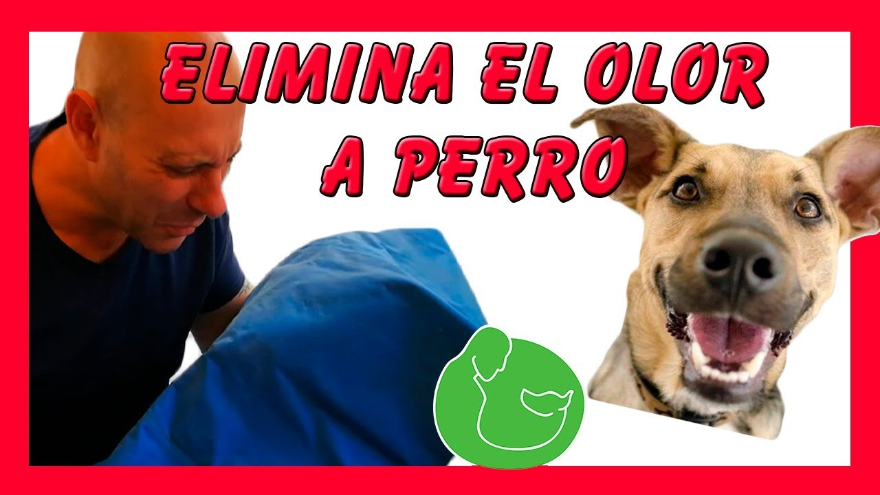 Como eliminar el olor a perro de tu casa tambi n p s y popo en la cama youtube - Quitar olor a pis de gato ...