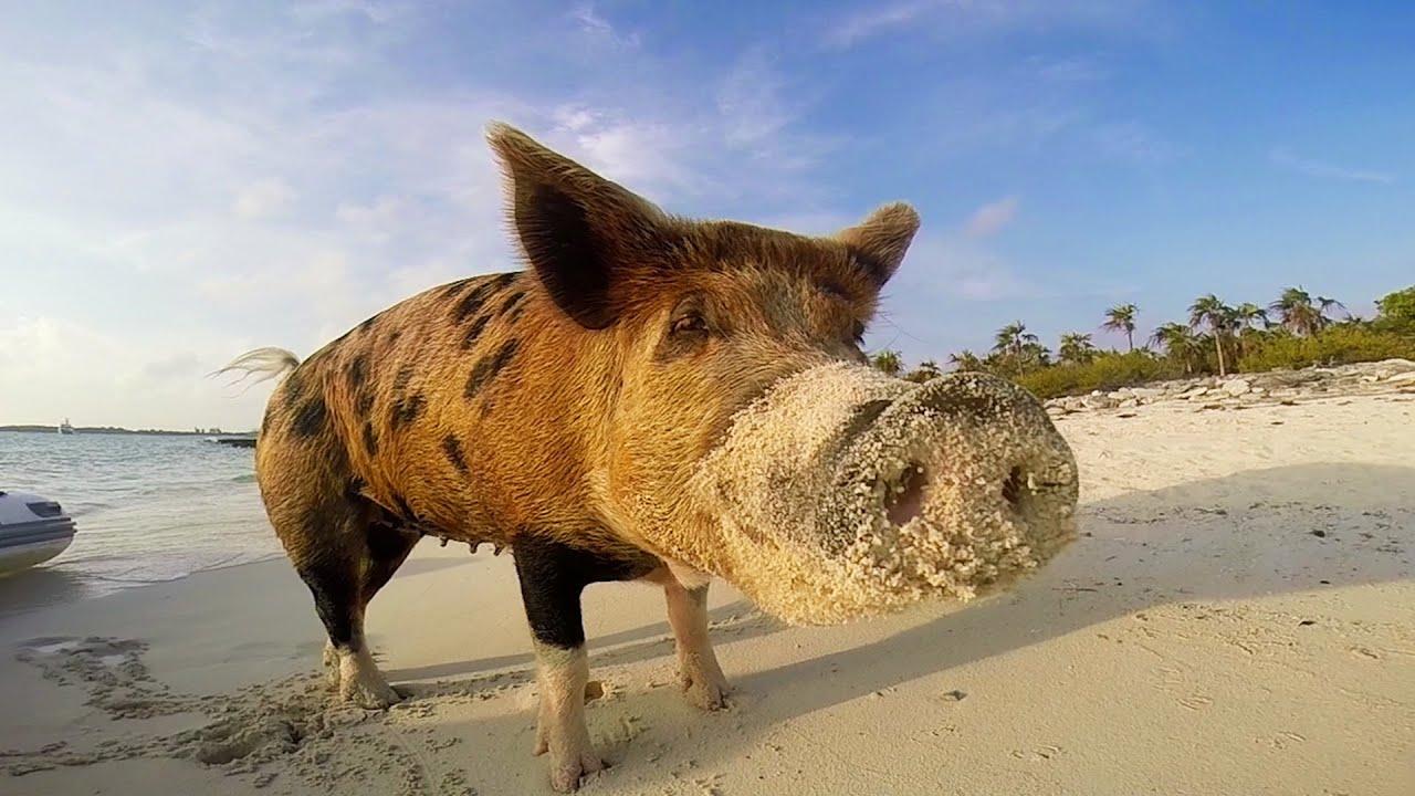 Pig Island : l'île des cochons