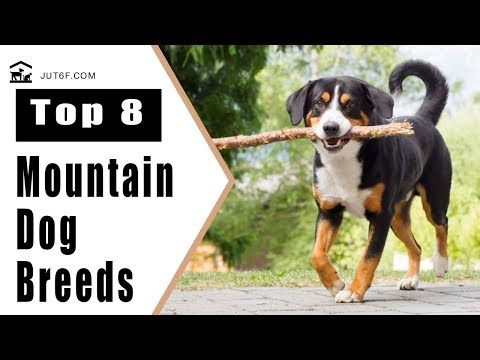 Top 8 Mountain Dog Breeds