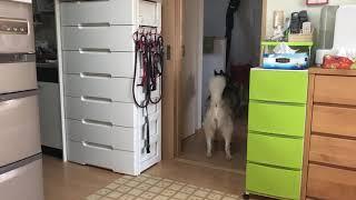 シベリアンハスキーのしーぽんは、一階で物音がするとどこに居ても階段...