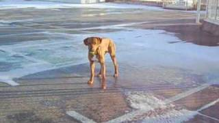 Rhodesian Ridgeback On Ice
