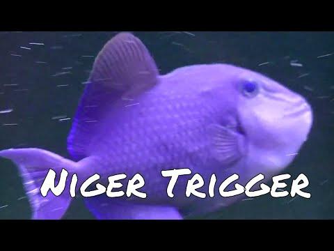 Niger Trigger