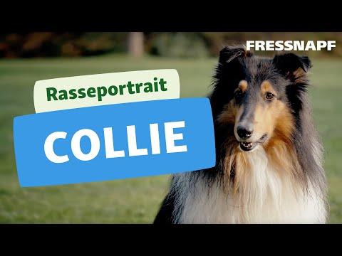 Collie Rasseportrait   FRESSNAPF