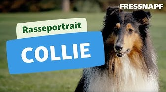 Collie Rasseportrait | FRESSNAPF