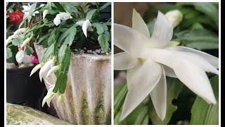 💥 Flor De Maio ENFRAQUECIDA APÓS FLORAÇÃO❓😱 Veja Como RECUPERAR RAPIDINHO Sem Complicação💚😘