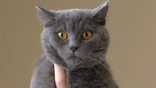 Британський кіт живе у під'їзді