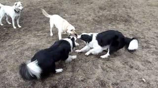 Border Collie & Labrador Retriever