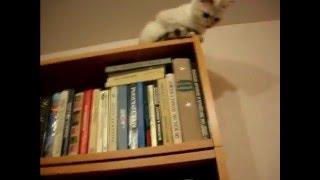 Кошки любят гулять высоко! Тайские кошки - это чудо! Funny Cats