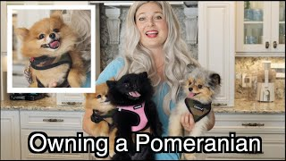Owning A Pomeranian | Fluffy CUTE Overload