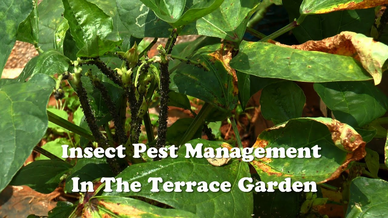 Insect Pest Management In The Terrace Garden   YouTube