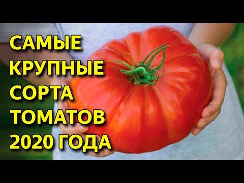 Лучшие сорта мясистых томатов. 5 сортов крупноплодных томатов. Томаты 2020 сибирская селекция. | крупноплодных | помидоров | земляника | эксперты | виктория | карелия | сортов | семена | лучшие | обзор