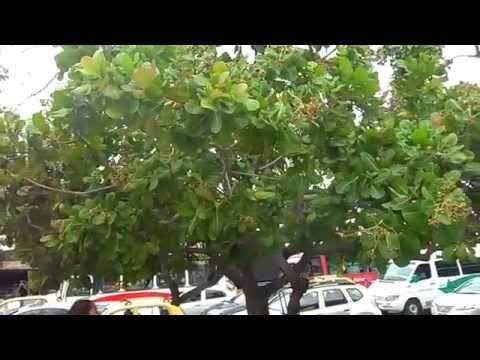 Árbol de marañón