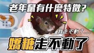 【維鼠日記】嬌糖走不動了...老年鼠有什麼症狀?!【維特】#113