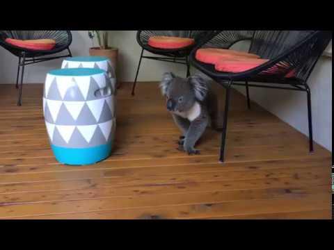 Thirsty Koala in Leabrook, Adelaide South Australia