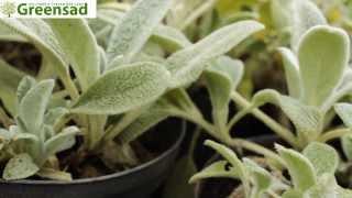 видео Мискантус посадка и уход в открытом грунте, выращивание и размножение, сорта, фото, сочетание в ландшафтном дизайне
