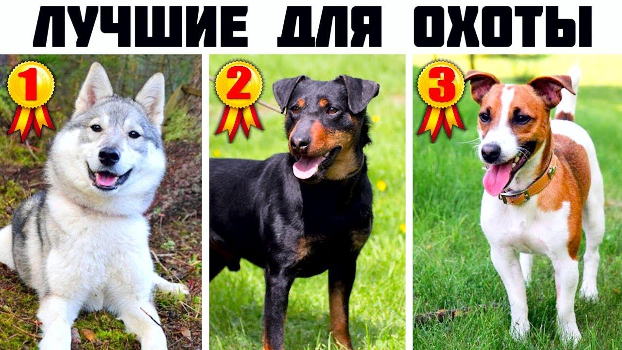 7 Лучших универсальных охотничьих пород собак (Часть 2)