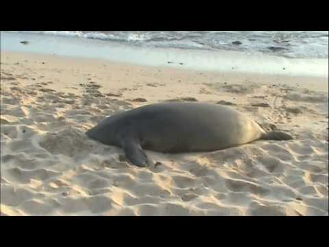 Hawaiian Monk Seal - Rocky