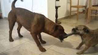 Rottweiler Crossbreed / Amstaff Fighting With Border Terrier
