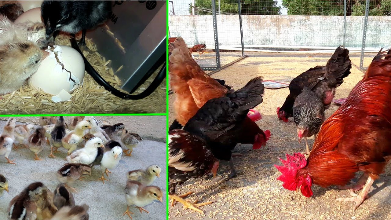 Download Chicken Growth (Day 1 to 3 Months) || Raising Chickens at Home