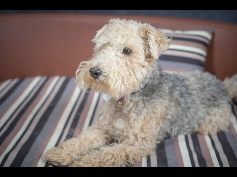 Frank - Lakeland Terrier - 3 Weeks Residential Dog Training