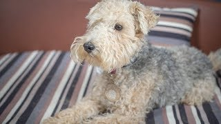 Frank  Lakeland Terrier  3 Weeks Residential Dog Training