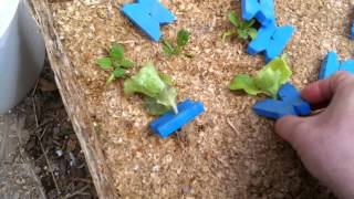 Planting Hydroponic, Floating Raft, Lettuce