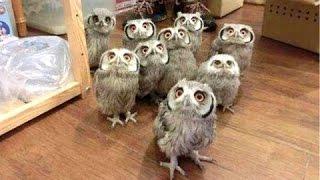 猫头鹰 - 一个有趣的猫头鹰和猫头鹰可爱。编辑|新