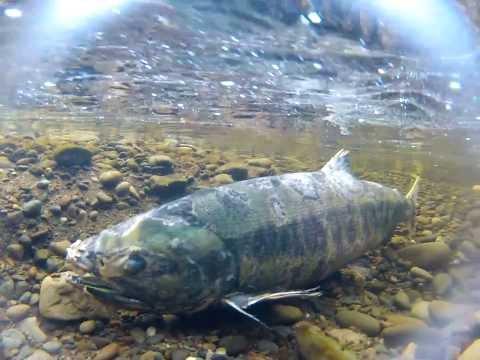 Zombie Chum Salmon (Patrick Cooney)
