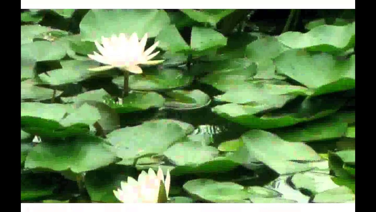 White Lotus Flower Images Youtube