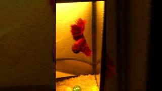 Моя любимая рыбка петух
