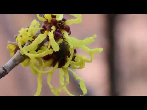 Witch Hazel Plant Profile
