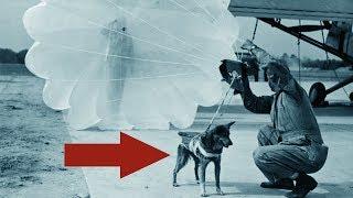 Зачем собак парашютистов использовали во второй мировой