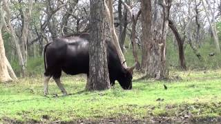 Mudumalai Wild Life Sanctury Videos - Bison Home