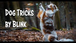 Dog Tricks by three year old Australian Shepherd Blink! ♥