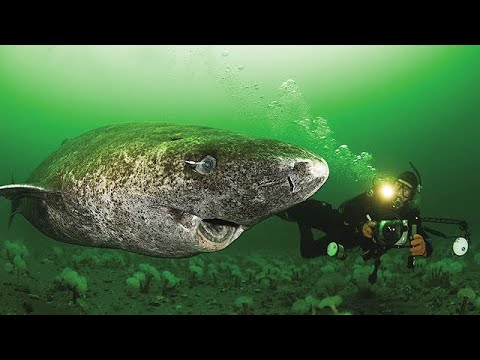 Download Oldest Shark in the World - 512 Year Old Greenland Shark