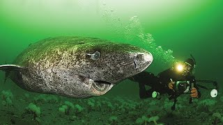 512 Year Old Greenland Shark. Oldest Shark in the World.