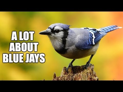 A Lot About Blue Jays Youtube