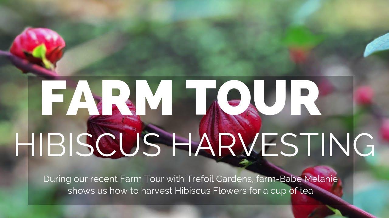 Hibiscus Flower Harvesting With Trefoil Gardens In Woodstock