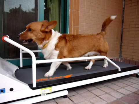 Petrun Doggie Treadmill Dog Is Walking On Youtube
