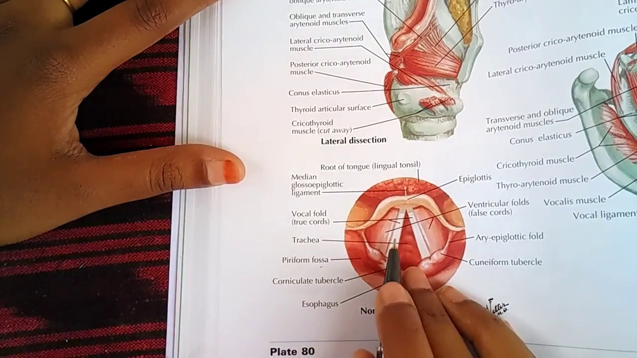 ANATOMY OF LARYNX part 1 - YouTube