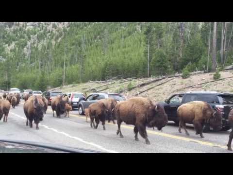Bison Traffic in Yellowstone