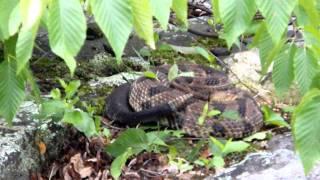 Nj Timber Rattlesnake