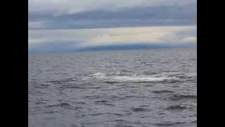 Transient (Biggs) Orcas attacking steller