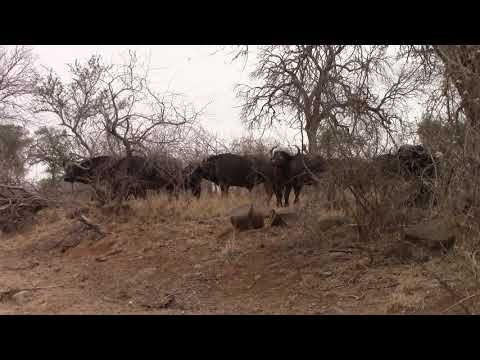 Buffalo, Kruger National Park