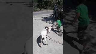 Belajar merawat dan bermain dengan Domba umur 7 bulan
