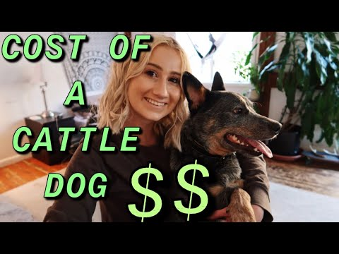 How much money I spent on my Australian Cattle Dog