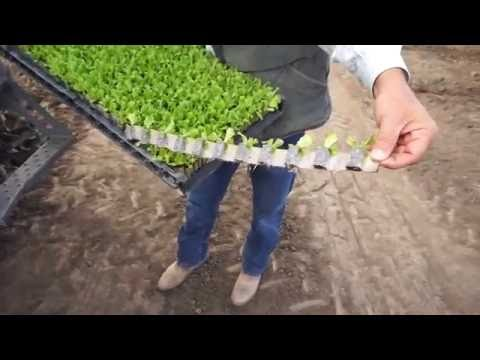 Automated Transplanting Saving Labor, Increasing Yields