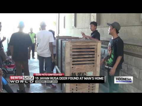 Rare Javan Rusa Deer Seized From Indonesian Businessman
