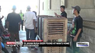 Rare Javan Rusa Deer Seized From Indonesian Businessman